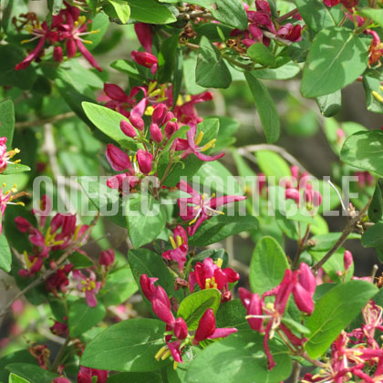 image de Lonicera Honey Rose