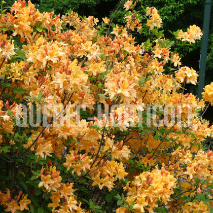 image de Rhododendron Golden Lights
