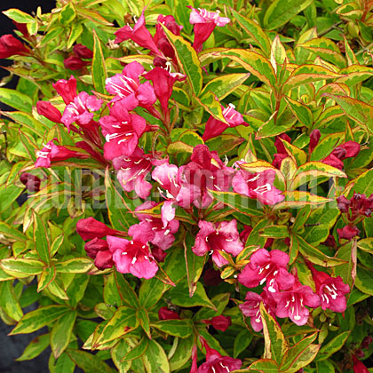 image de Weigela French Lace