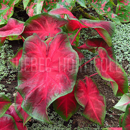 image de Caladium Painted Frog™ Red-Bellied Tree Frog