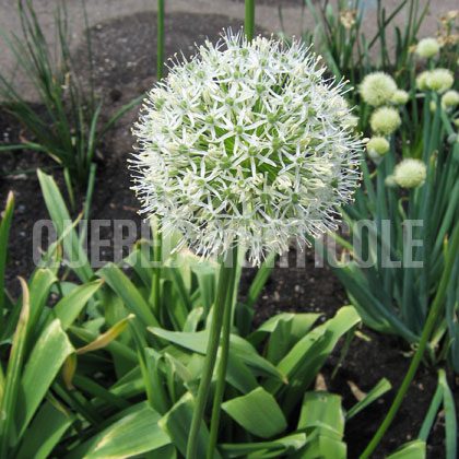 image de Allium Mount Everest