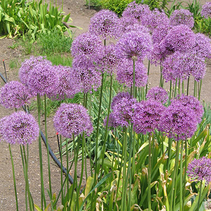image de Allium sp