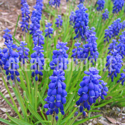 image de Muscari sp.