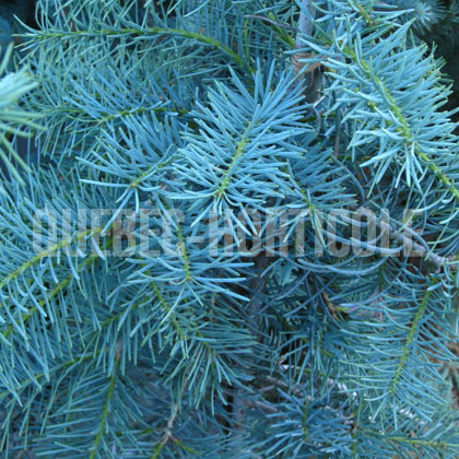 image de Abies concolor Blue Cloak