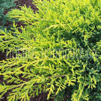 image de Juniperus chinensis Gold Star