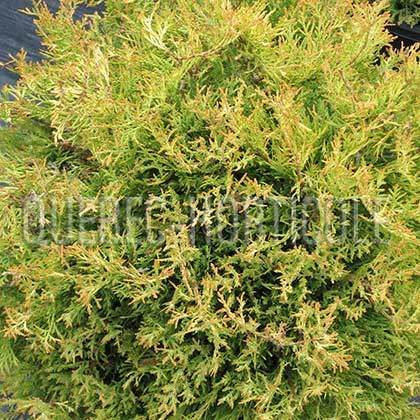 image de Thuja occidentalis Rheingold