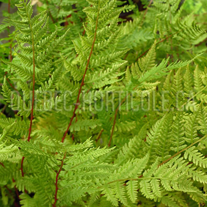 image de Athyrium filix-femina Lady In Red