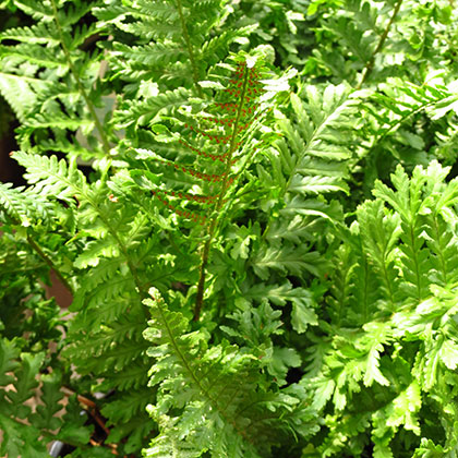 image de Dryopteris filix-mas Grandiceps Wills