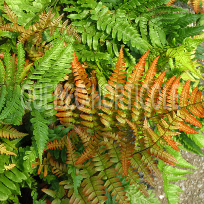 image de Dryopteris erythrosora Brilliance
