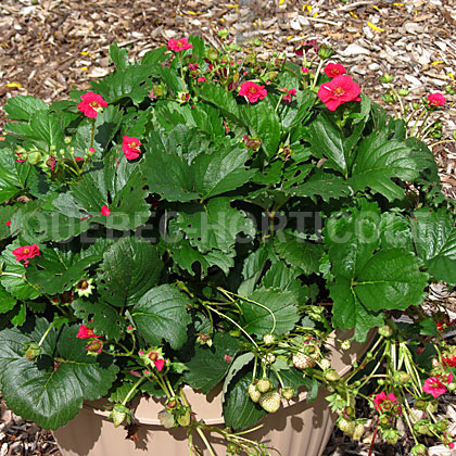 image de Fragaria Berried Treasure™ Red