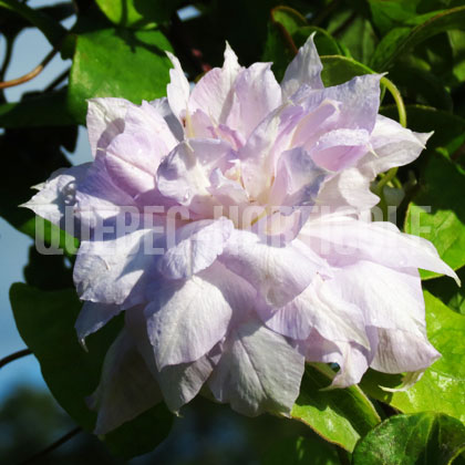 image de Clematis Belle Of Woking