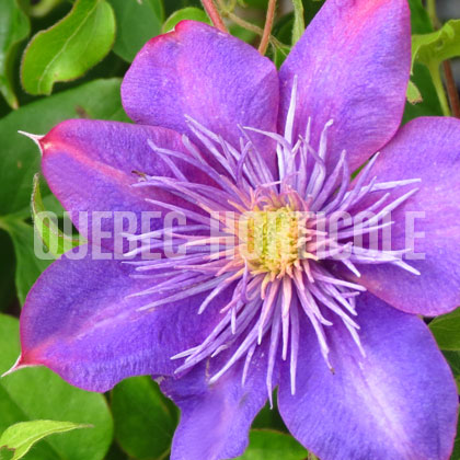 image de Clematis Crystal Fountain