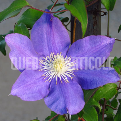 image de Clematis H. F. Young