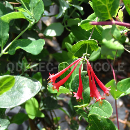 image de Lonicera Major Wheeler