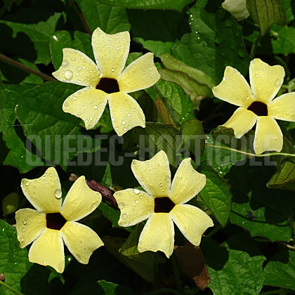 image de Thunbergia alata Arizona Lemon Sunrise