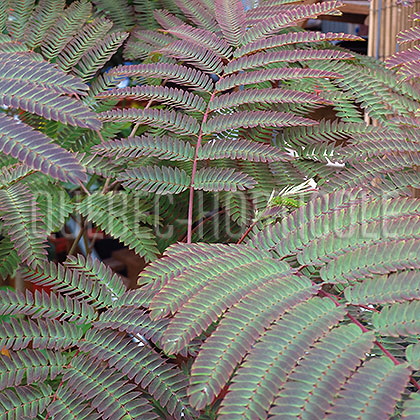 image de Albizia Summer Chocolate
