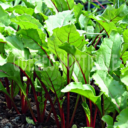 image de Beta vulgaris Red Ace