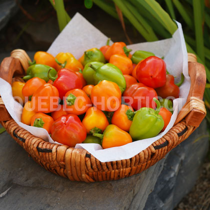 image de Capsicum Mini Bell Mix