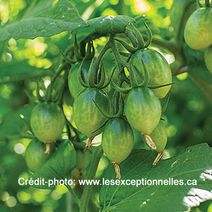 image de Solanum lycopersicum Green Doctor's Frosted