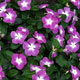 image de Catharanthus