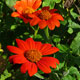 image de Tithonia rotundifolia