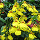 image de Oncidium sp.