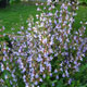 image de Salvia officinalis
