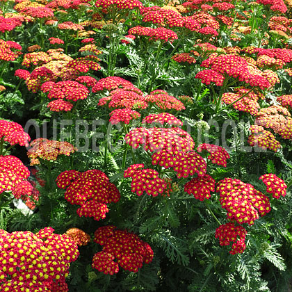 image de Achillea millefolium Strawberry Seduction