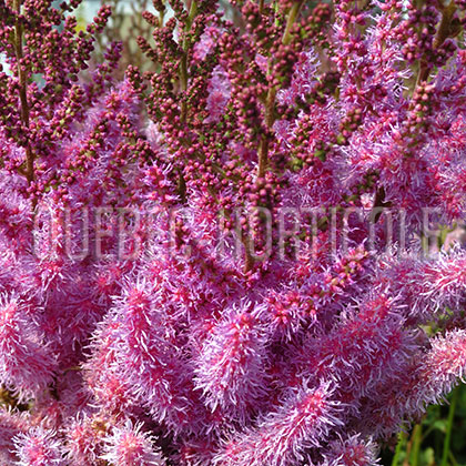 image de Astilbe chinensis taquetii Purple Candles