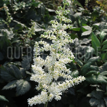 image de Astilbe chinensis Vision In White