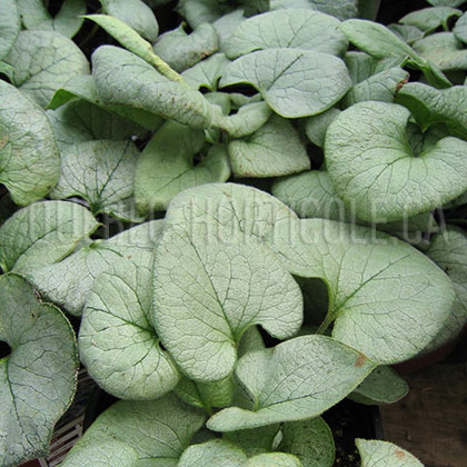 image de Brunnera macrophylla Looking Glass