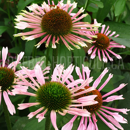 image de Echinacea All That Jazz