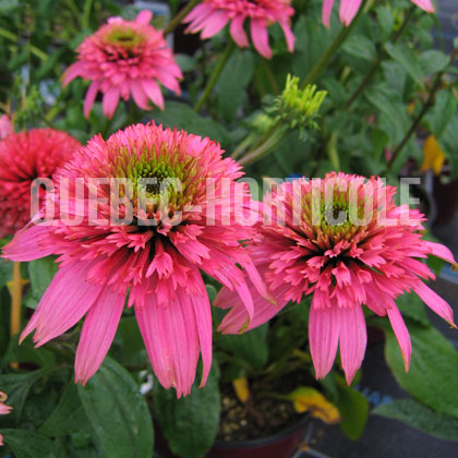 image de Echinacea Cotton Candy