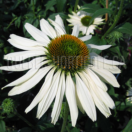 image de Echinacea Fragrant Angel