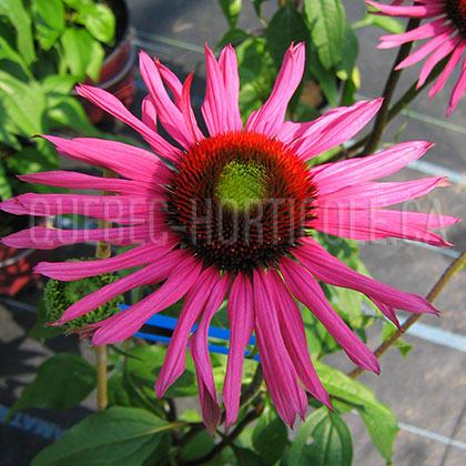 image de Echinacea Green Eyes