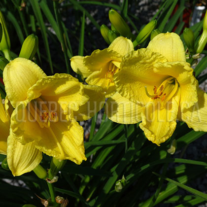 image de Hemerocallis Happy Returns