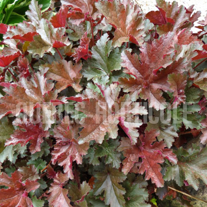 image de Heuchera Chocolate Ruffles