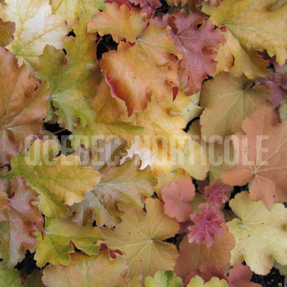 image de Heuchera Amber Waves