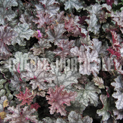 image de Heuchera x Can Can
