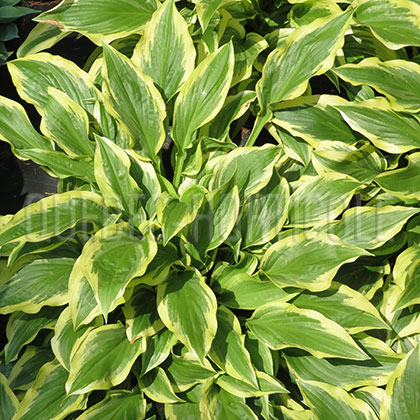 image de Hosta Carolina Sunshine