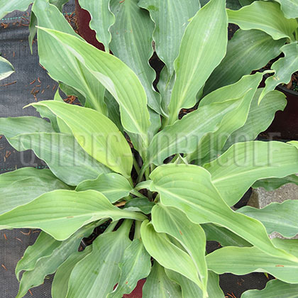 image de Hosta Cutting Edge