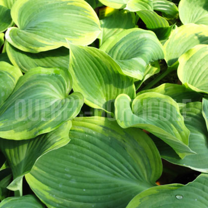 image de Hosta Earth Angel