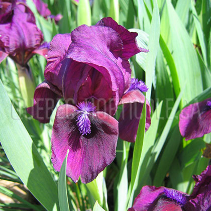 image de Iris x germanica