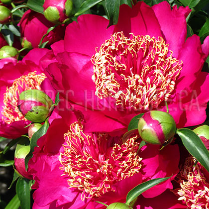 image de Paeonia Barrington Belle