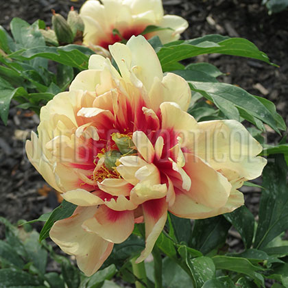 image de Paeonia Magical Mystery Tour