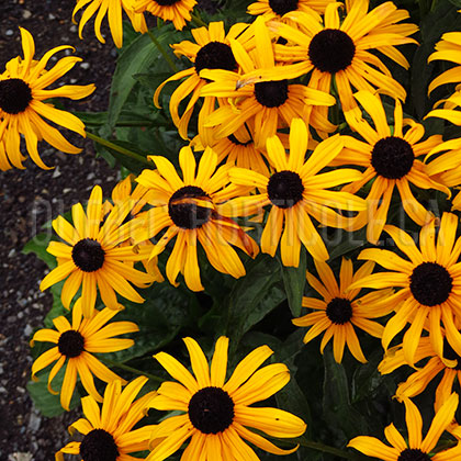 image de Rudbeckia fulgida sullivantii Pot of Gold