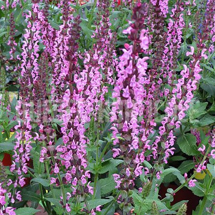 image de Salvia nemorosa Sensation Deep Rose Improved