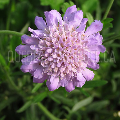 image de Scabiosa columbaria Butterfly Blue