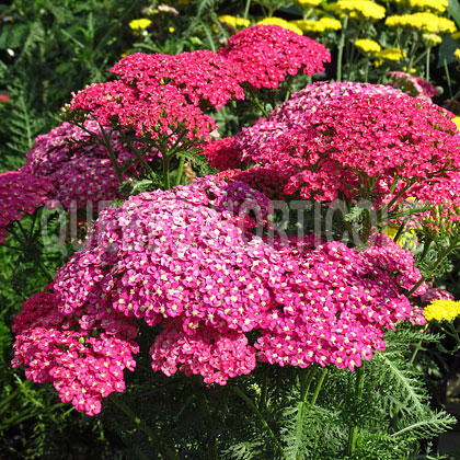 image de Achillea millefolium Saucy Seduction