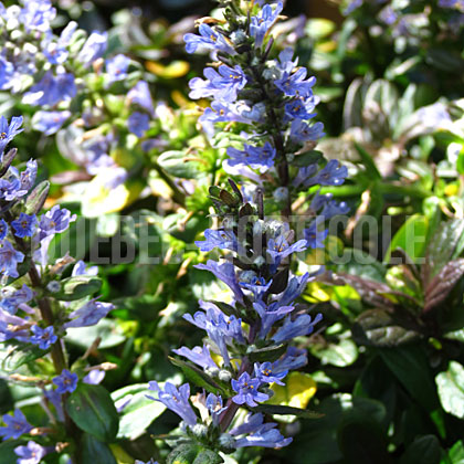 image de Ajuga reptans Chocolate Chip